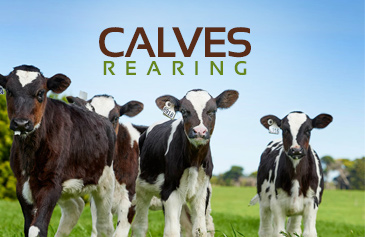 Calves Rearing