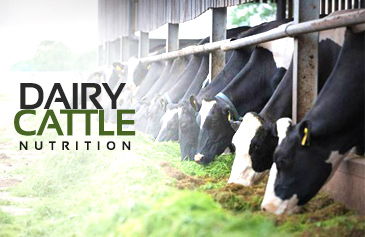 Dairy Cattle Nutrition