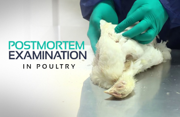 Postmortem Examination In Poultry
